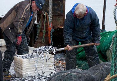 Богат улов от хамсия зарадва созополските рибари